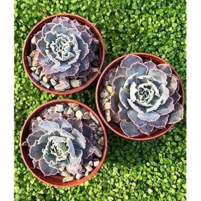 "Cheap 2"" Pot Echeveria Shaviana Mexican Hens and Chicks Easy Grow #RGR01YN : Garden & Outdoor"