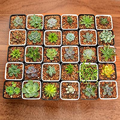 GOODEF 20pcs Gorgeous Different Succulent Plants with 2
