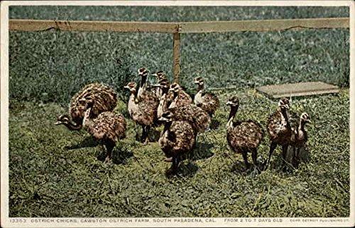 Ostrich Chicks, Cawston Ostrich Farm South Pasadena, California Original Vintage ()