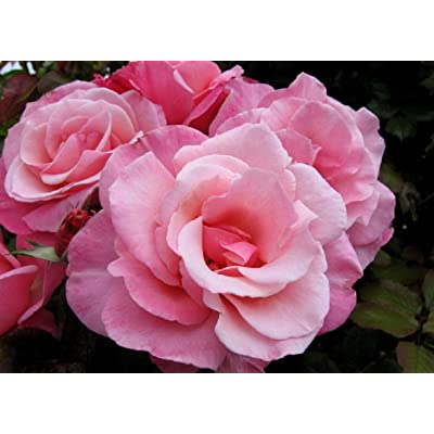 1 Live Plant Pink First Prizes Rose 3 Gallon Plant Roses Bush Outdoor Gardening tktreas : Garden & Outdoor