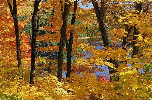 Posterazzi Sugar Maples Gatineau Park Quebec Poster Print, (18 x 11) ()