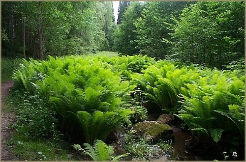 Hardy Ostrich Fern - Matteuccia - Up to 8 Feet Tall! - Live Plant - Gallon (Hardy Ferns)
