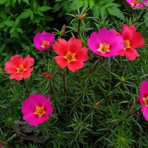 Inicio Jardín Mixta México-elevó semillas de plantas Sun Portulaca musgo Rose Portulaca gr de flores 100 semillas / pack: Amazon.es: Jardín