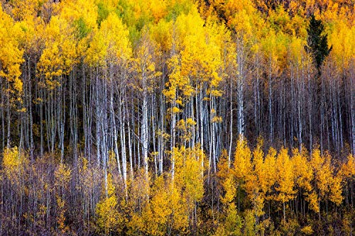 Fall Season Photography Art Print - Picture of Aspen Trees at Maroon Bells Western Colorado Autumn Forest Decor 5x7 to - Pictures Western Kitchen