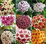 300pcs Mix Hoya Carnosa Seeds Potted Ball Orchid Flower Plant Home Garden BT143