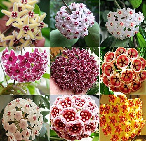 300pcs Mix Hoya Carnosa Seeds Potted Ball Orchid Flower Plant Home Garden BT143