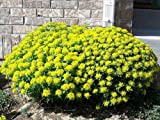 25+ Cushion Spurge, Euphorbia POLYCHROMA Flower Seeds, SELF-Seeding Perennial