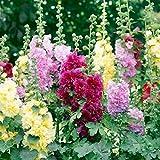 Non GMO Bulk Hollyhock Seeds - Summer Carnival Alcea rosea (5 lbs)