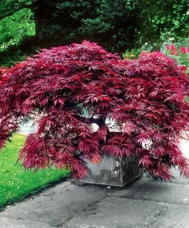 Amazoncom Hot Sale 20 Pcslotcrimson Queen Japanese Maple