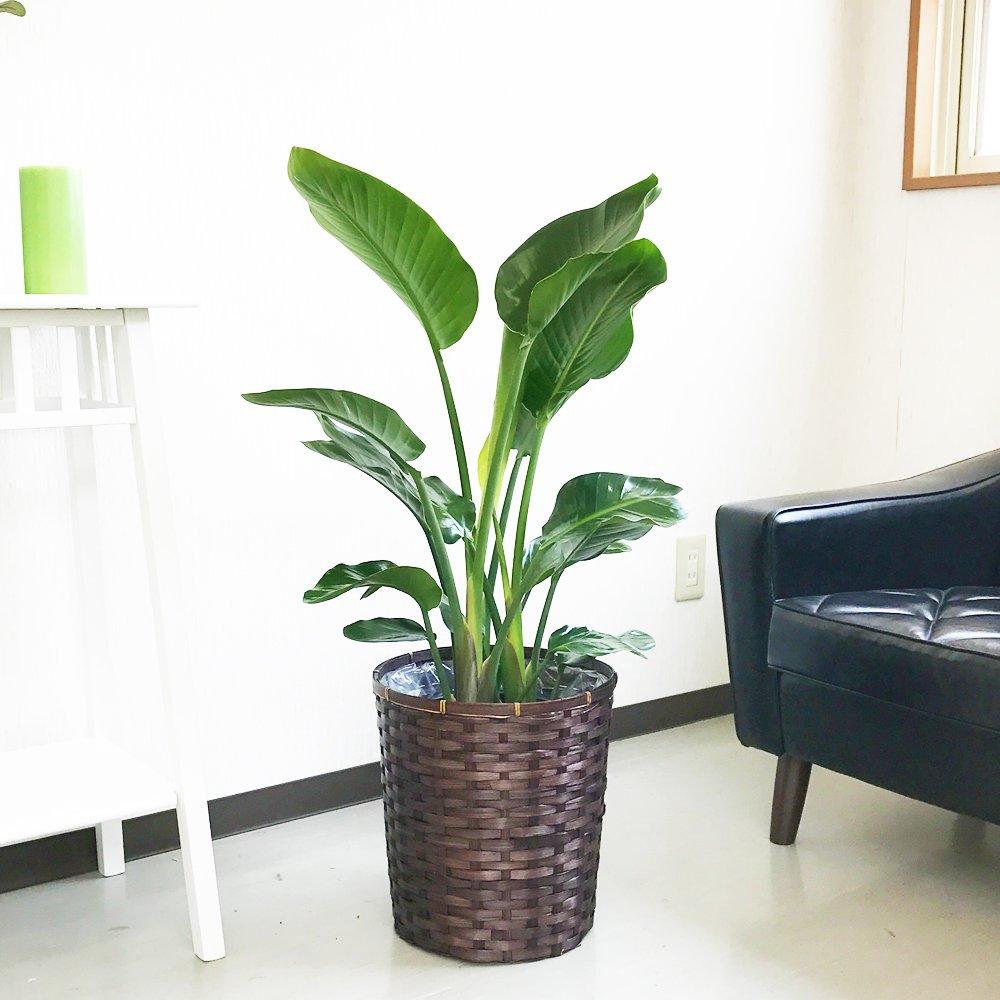 オーガスタ 観葉植物 鉢カバー付 インテリア 中型 大型 ストレチアオーガスタ B018VI9TIG