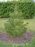 """10 Norway Spruce (Picea abies) 18-24"""""""