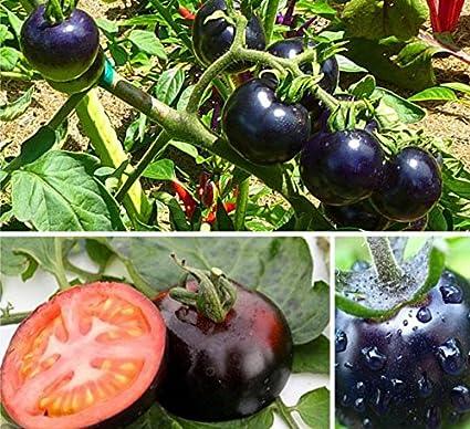 Moneymaker Verduras tomate 200 semillas de calidad