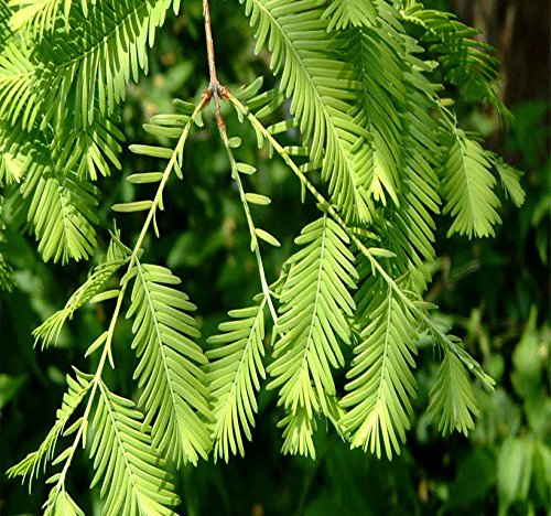 Redwood Tree Seeds - Big Pack - (1,000) Dawn Redwood Tree Seeds - Metasequoia glyptostroboides - by MySeeds.Co (Big Pack - Dawn Redwood)