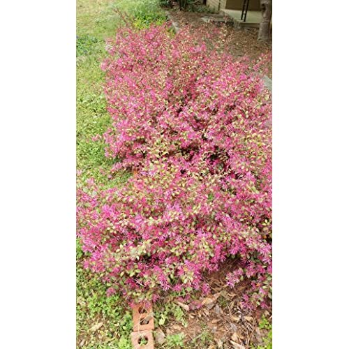 "Top (1 gallon pot) ""Sparkling Sangria"" LOROPETALUM (Chinese Fringe Flower) - Large, Shrub with Gorgeous, Rich, Maroon Foliage Year Round, Electric Pink Flowers Bloom in Spring. Great Privacy Hedge. for cheap"