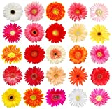Assorted Colors Gerbera Daisy- Wholesale