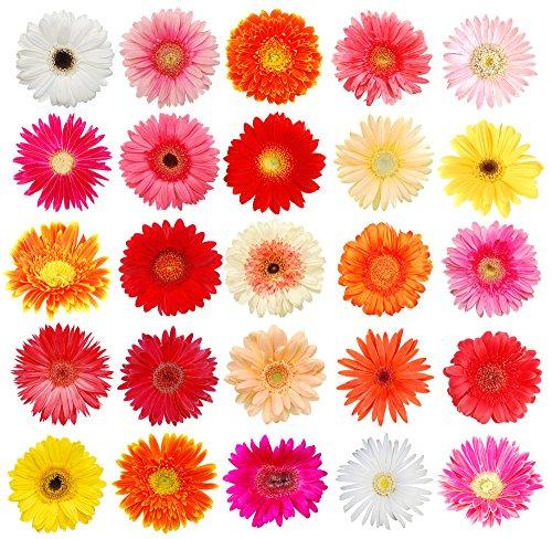 Assorted Colors Gerbera Daisy- Wholesale