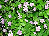 20 SIBERIAN SPRING BEAUTY Pink Purslane Claytonia Sibirica Candy Flower Seeds
