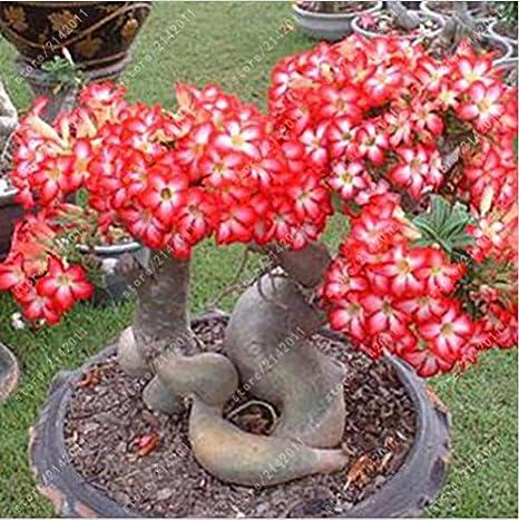 2pcs / bolsa de Desert Rose semillas, Semillas Adenium ...