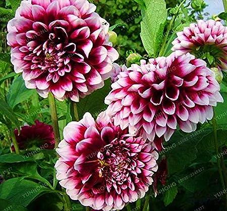 Amazon Com 2 Bulbs Dahlia Bulbs Dalia Flowers Dahlia Flower