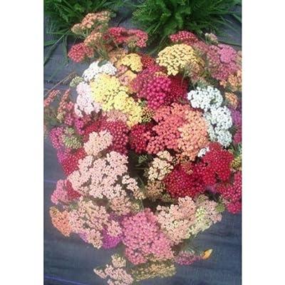 400 Seeds Yarrow Achillea Mix Colors Easy Heat Resistant Herb Organic AZT07 : Garden & Outdoor