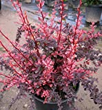 Pinkish-Red Barberry Aka Berberis T. 'Rose Glow' Live Plant Fit 05 Gallon Pot