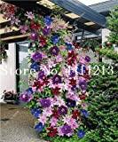 Kasuki Hot Sale! 100 pcs Climbing Clematis (not Bulb) Clematis Florida Bonsai Flower Perennial Flowering Potted Plants DIY Home Garden - (Color: 1)