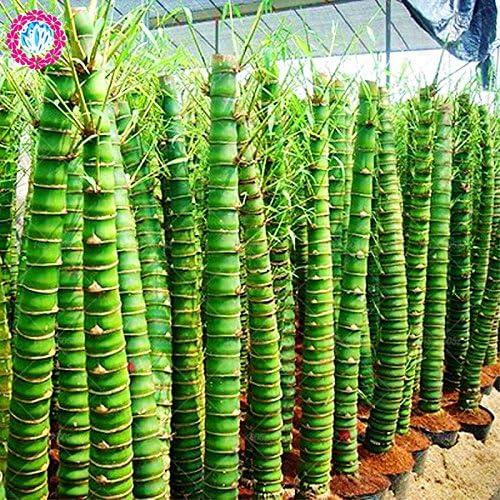 40pcs graines de bambou style chinois Intérieur frais Moso Bambou Bonsai Graines Arbre Graines bricolage jardin plantation en pot Facile à cultiver
