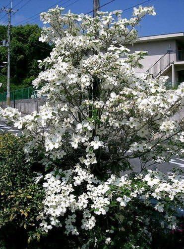 Amazon Com 10 American White Flowering Dogwood Small Tree Cornus