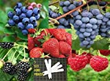 Fruit Combo Pack Raspberry, Blackberry, Blueberry, Strawberry, Grape (Organic) 525+ Seeds 646263361504 Self Fertile + 5 Free Plant Marker