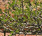 Foresteria Neomexicana ''Desert Olive, New Mexico Privet'' 3 Native Plants! Buy Direct From The Colorado Grower! Delivery In 4 Days!