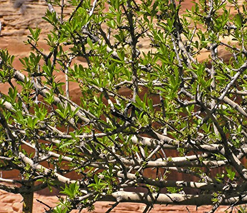 Foresteria Neomexicana ''Desert Olive, New Mexico Privet'' 3 Native Plants! Buy Direct From The Colorado Grower! Delivery In 4 Days! by Colorado Hardy Plants