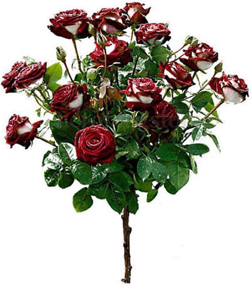 Dyyicun12 - Juego de 100 semillas de rosa rubí rojo y blanco para ...