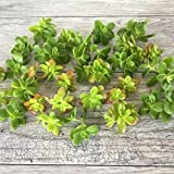 Cal Summer Garden 30+ Cuttings Sedum Confusum Ground Cover Stonecrop Fast to Rood