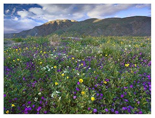 Global Gallery Art on a Budget DP-397055-3040 Tim Fitzharris Wildflowers Carpeting The Ground Beneath Coyote Peak Anza-Borrego Desert Giclee on Paper Print (Anza Borrego Wildflowers Best Time)