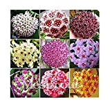fino shop 100PCS / Bag Hoya kerrii Seed (Hoya kerrii) Family Bonsai Gardening Supplies Variety of Flower Seeds