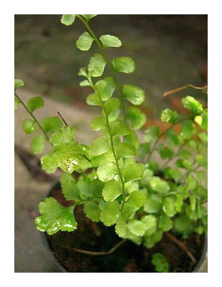 Lindsaea orbiculata - fern - 100 seeds Exotic Plants