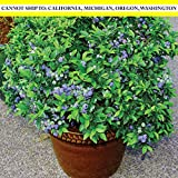 "Burpee 'Top Hat' Blueberry Fruit | 1 Plant | 4 1/2"" Pot"