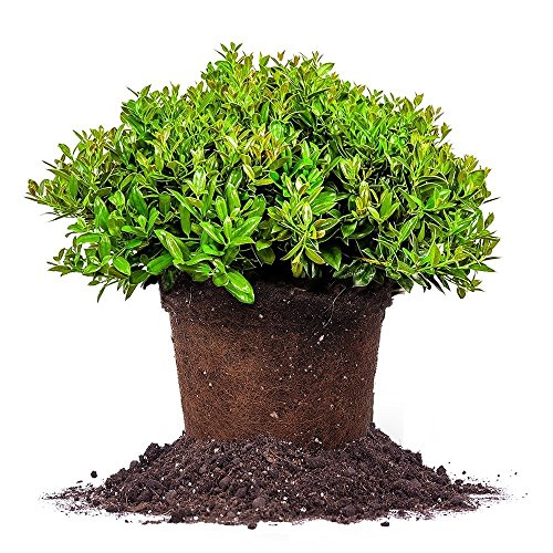 Discount CARISSA HOLLY - Size: 1 Gallon, live plant, includes special blend fertilizer & planting guide for cheap