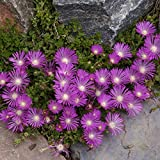 Outsidepride Ice Plant Table Mountain Ground Cover Plant Seed - 500 Seeds