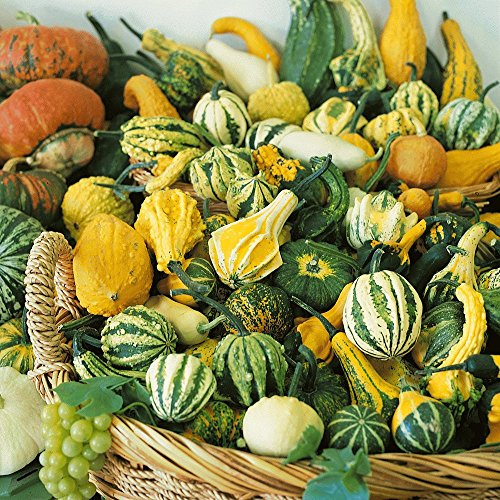 Everwilde Farms - 25 Small Mixed Gourd Seeds - Gold Vault Jumbo Seed - Seeds Gourd
