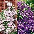 Van Zyverden 2 Varieties Clematis Collection Plants (Set of 2)