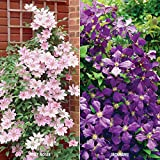 Van Zyverden 2 Varieties Clematis Collection Plants (Set of 2)