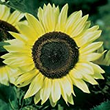 buy David's Garden Seeds Sunflower Lemon Queen SV127RX (Yellow) 50 Open Pollinated Seeds now, new 2020-2019 bestseller, review and Photo, best price $6.95