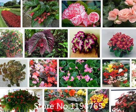 Promotion Superior Begonia Seeds Promotion!!! 24 Types 300pcs flower seeds Novel - Seed Begonia