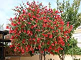 Red Flowing Weeping Bottlebrush Tree. Well Rooted in a 4 Inch Pot, 8-12 inches tall