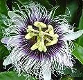 HEIRLOOM NON GMO Liliko Hawaiian Passion Flower 5 seeds