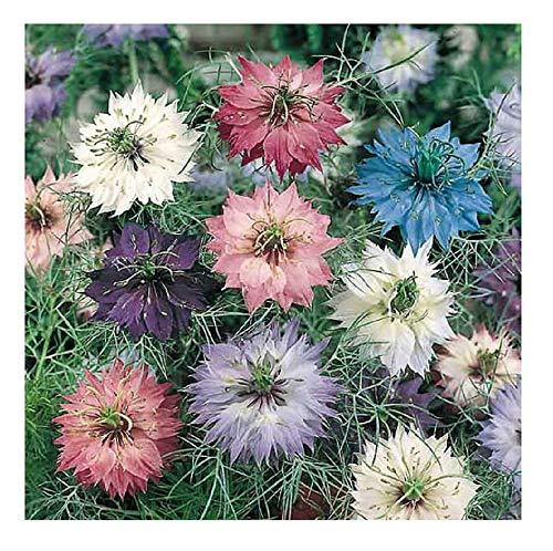 David's Garden Seeds Flower Nigella Love in A Mist SL1532SV (Multi) 500 Non-GMO, Heirloom Seeds
