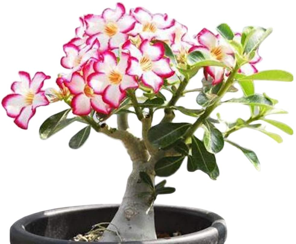 Height 6-8 inches 3 Desert Rose Plants//Adenium Obesum Mixed colors US Seller