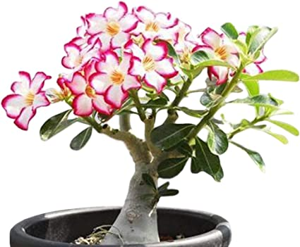 Amazon Com Desert Rose Adenium Obesum One Year Plant Baby Size Bonsai Caudex From Lankui 1 Rose Garden Outdoor
