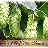 100 x HOPS - Humulus lupulus - Seeds - Brew Your OWN BEER TODAY - COMES BACK EVERY YEAR - Plants Develops Rhizomes - Zones 3 - 8 - By MySeeds.Co